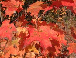 fall maple