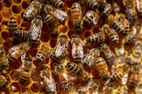 European Honeybees