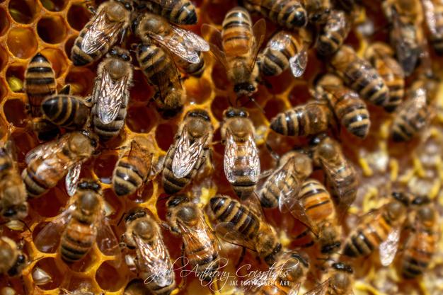 European Honeybees