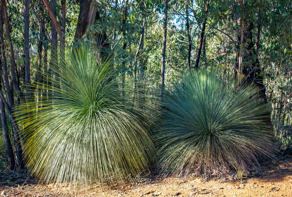 Grass Tree 4