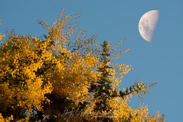 Wattle Moon