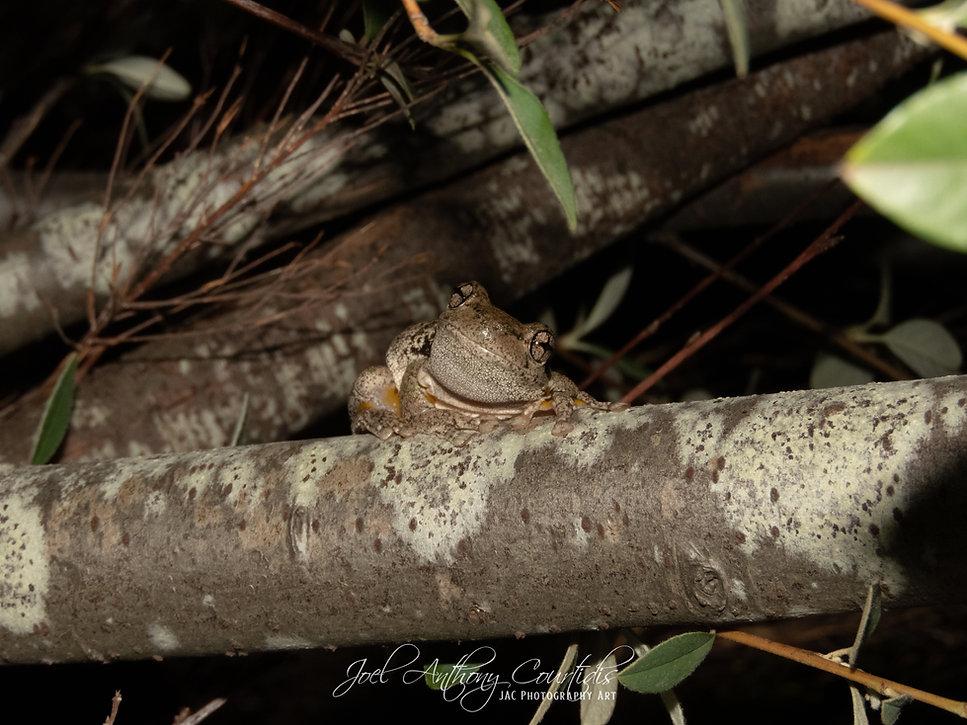 Perons Tree Frog-2.jpg