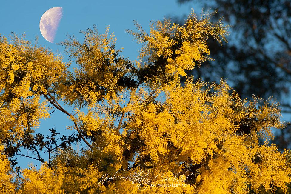 Wattle Moon.jpg