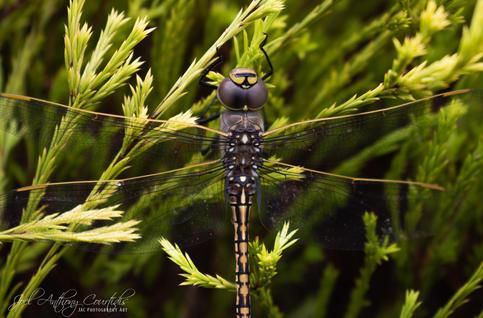 Australian Emperor Dragonfly