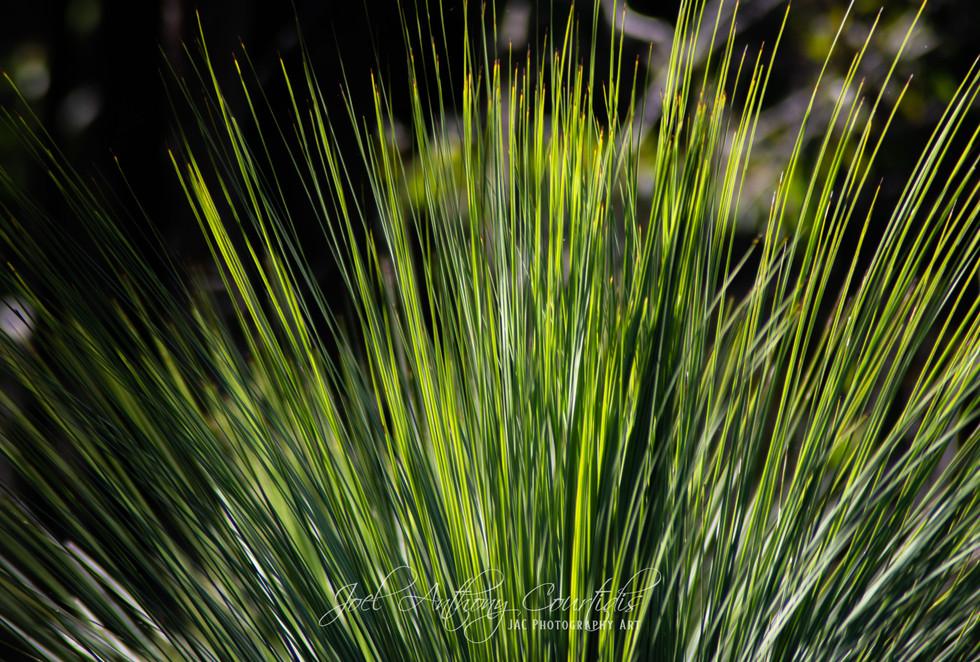 Grass Tree 3