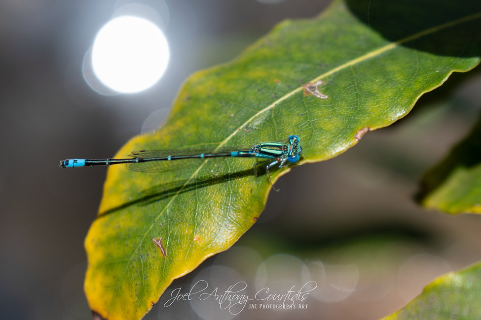 Blue Damesfly