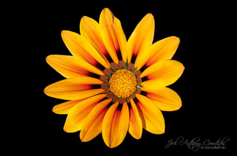Gazania In Bloom