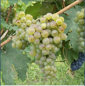 Kisi, grape, Georgian grape variety, georgian wine, qvevri