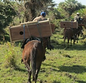 photo horses carrying nest boxes.png