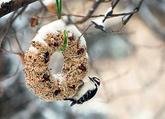 audubon homemade suet wreath pic.jpg
