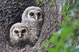 Owlets