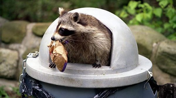 photo of racoon raiding garbage can