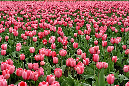 tulips-flowers-fish-eye-red-66896.jpeg