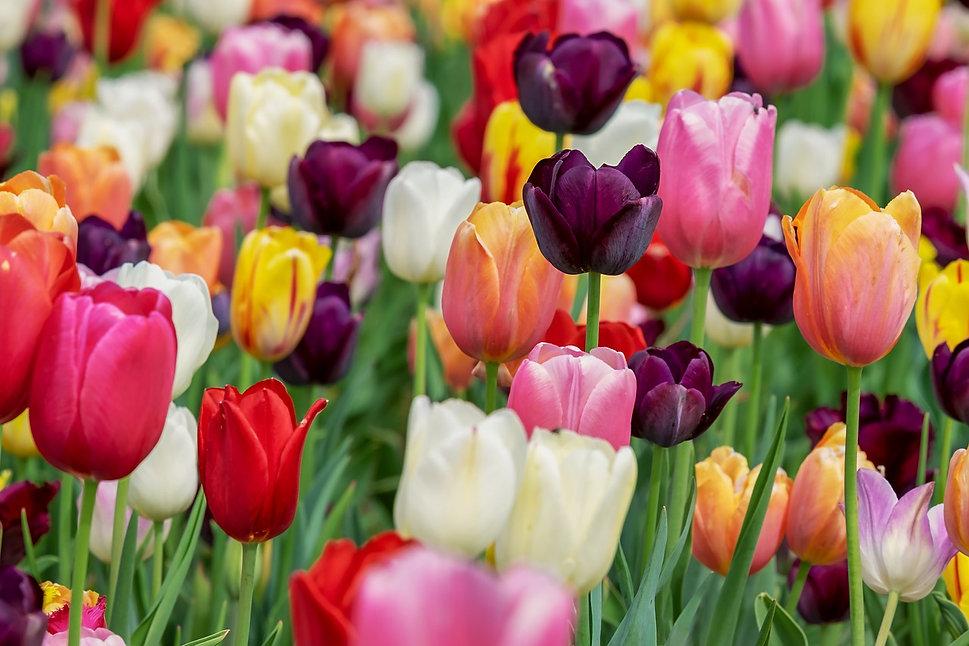 tulip-3365630_1280.jpg