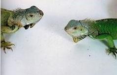 NutriBAC iguanas
