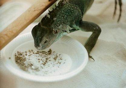NutriBAC Iguana Feed