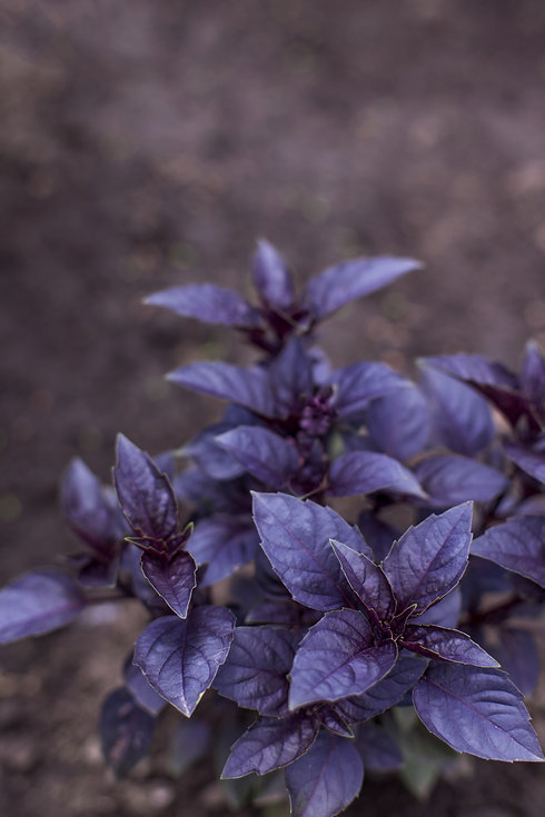 Fresh organic purple basil plant in the
