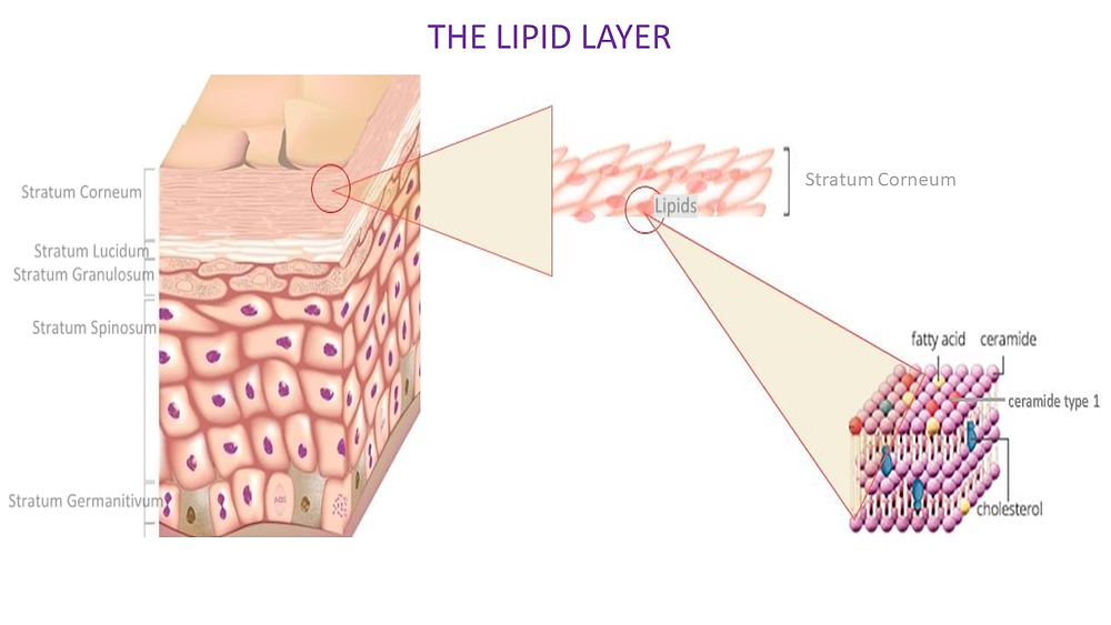 lipid layer in skin. Best oils to use on dry skin.