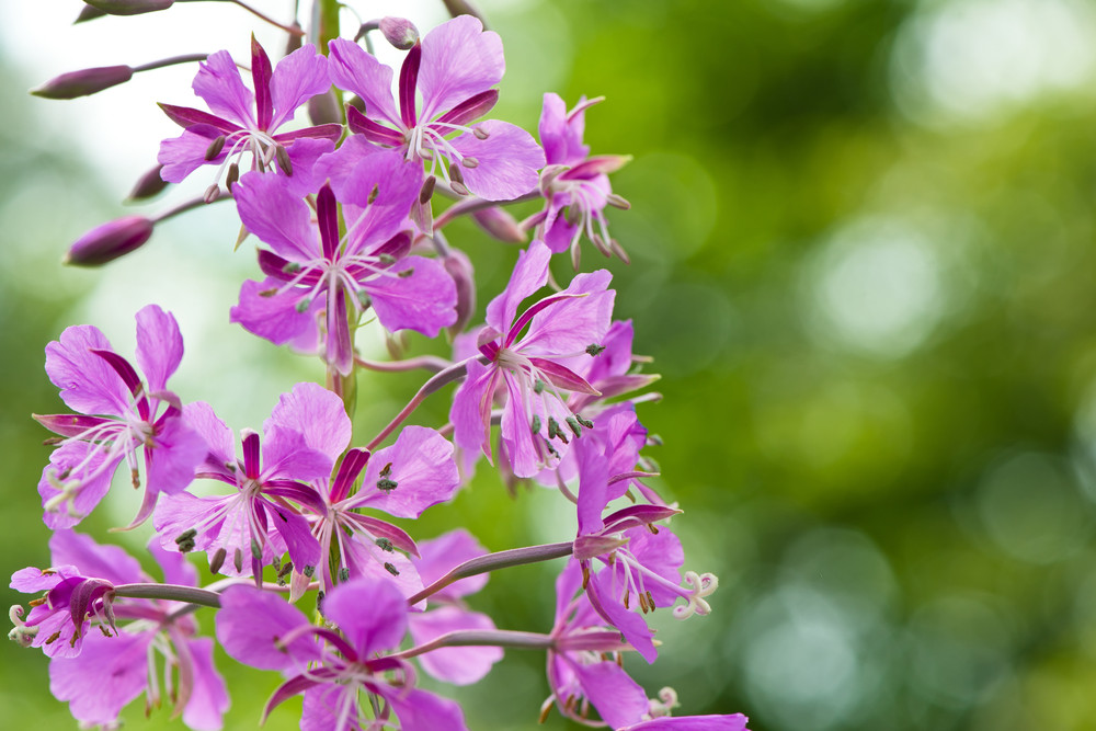 pink fireweed