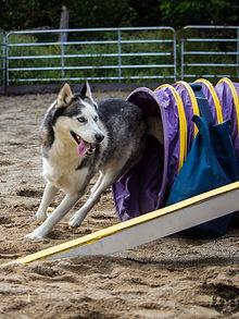 cours agilité chien 3