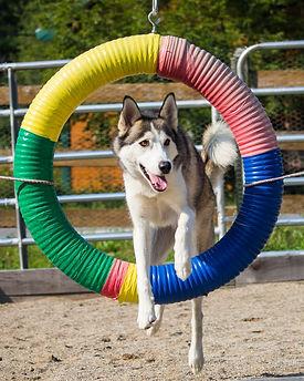 cours agilité chien 4