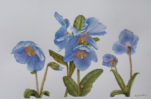 New Artwork Title     Blue Poppies_1
