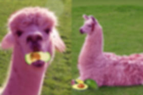 Pink Alpacas Eating Avocados