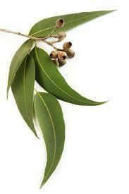 Eucalyptus Essential Oil (Eucalyptus Globulus)
