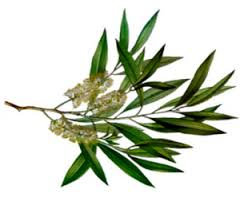 Tea Tree Essential Oil (Melaleuca Alternifolia)
