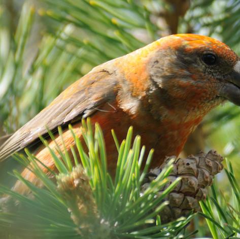 Parrot Crossbill