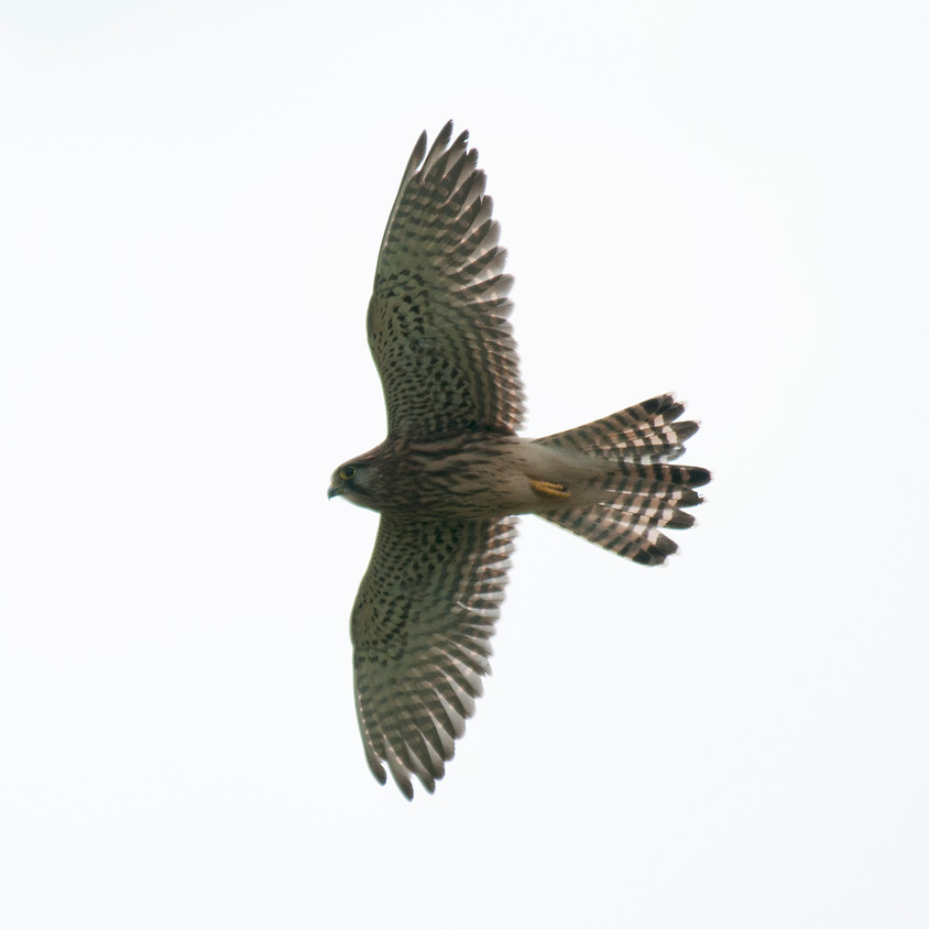 Lecture - Unwrapping Raptors - Gravesend RSPB