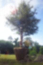 MGSF oak tree.jpg