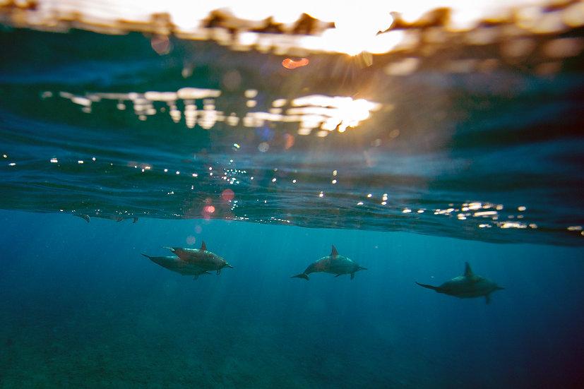 Aloha Dolphins