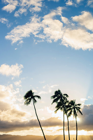 Haleiwa Palm Trees