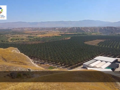 Organic date farm in the Jordan Valley and incredible spiritual lessons