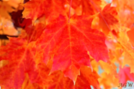Maple Leaves Close-up Photo