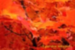 3-D Maple Leaves   Photp