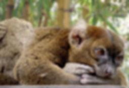 bamboo-lemur-1400323_1280.jpg