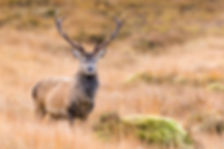 AdobeStock Red Deer Stag_231894485 (3).j