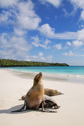 bigstock-Galapagos-Sea-Lions-On-The-Bea-