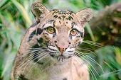 clouded-leopard-pixa.jpg