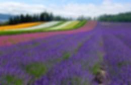 bigstock-lavender fields-204032332.jpg