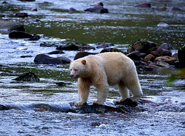 AdobeStock_kermode bear 2.jpeg