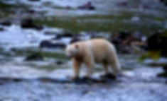 AdobeStock_kermode bear 2.jpeg