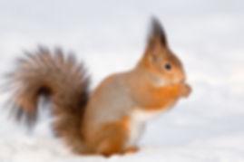 bigstock-Squirrel-In-hokkaido-219284836.