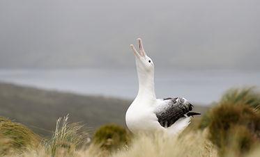 bigstock-Southern-Royal-Albatross-678990