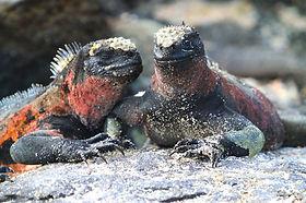 marine-iguana-894481_1920.jpg