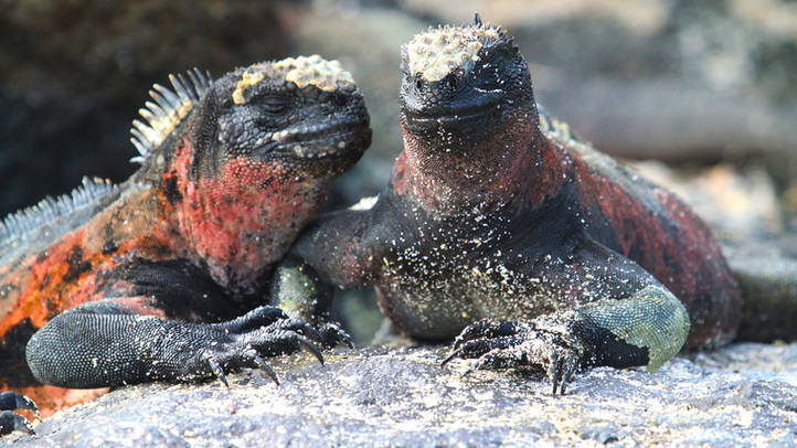 marine-iguana - Galapagos