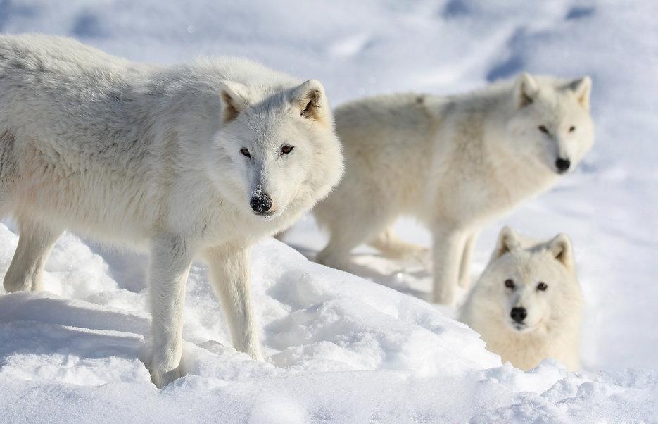 arctic wolf dreamstime.jpg