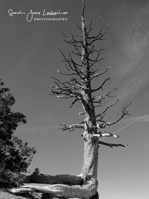 Dead tree Bryce.jpg